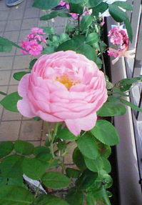 rose.jpgのサムネール画像